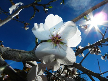 White Flower Almond Tree Nature